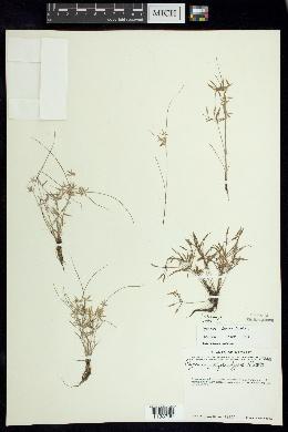 Image of Cyperus fugax