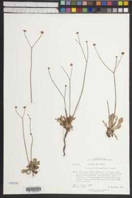 Eriogonum fimbriatum image