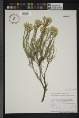 Lorandersonia pulchella image