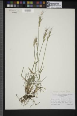 Image of Elymus sierrus