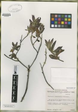 Image of Baccharis zamoranensis
