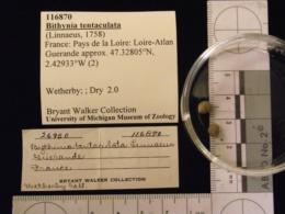 Bithynia tentaculata image