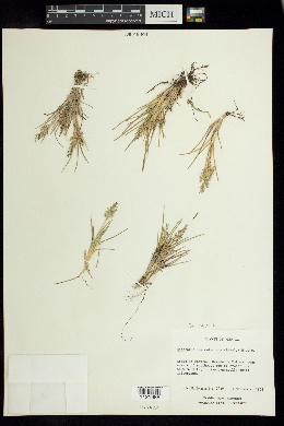 Image of Dissanthelium calycinum