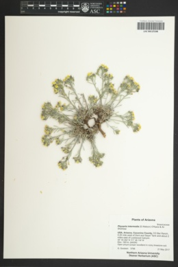 Physaria intermedia image