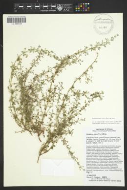 Hedeoma nana subsp. nana image