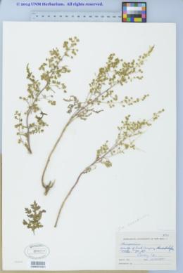Hedosyne ambrosiifolia image