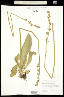 Saxifraga montanensis image