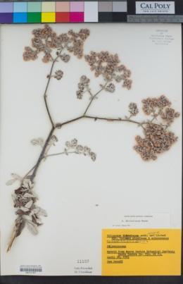 Image of Eriogonum x blissianum