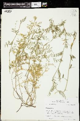 Vicia lutea image