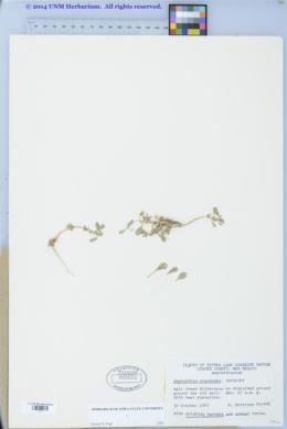 Amaranthus crassipes image
