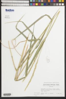 Image of Elymus macrochaetus