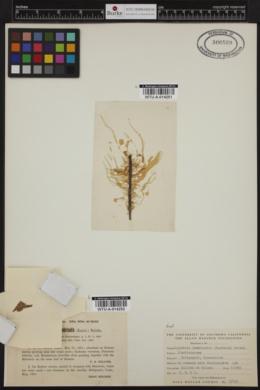 Halothrix lumbricalis image