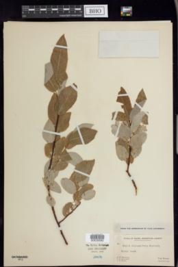 Salix balsamifera image