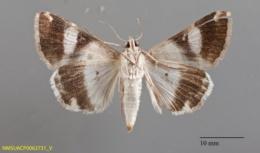 Melipotis perpendicularis image