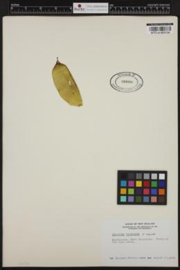 Lessonia variegata image