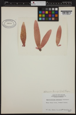 Webervanbossea tasmanensis image
