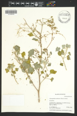 Image of Chenopodium oahuense