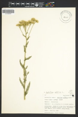 Image of Achillea alpina
