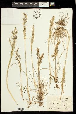 Image of Calamagrostis sesquiflora