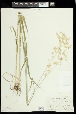 Arrhenatherum elatius image