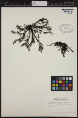 Scytothamnus australis image