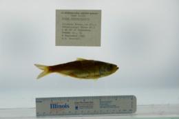 Alosa chrysochloris image