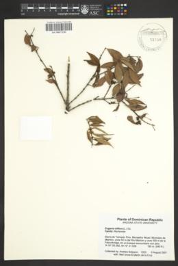 Image of Eugenia biflora