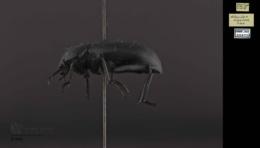 Eleodes nigrinus image