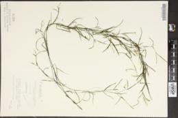 Potamogeton strictifolius image