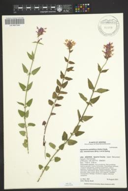 Agastache pallidiflora subsp. neomexicana image