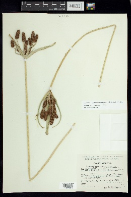 Image of Cyperus pycnostachyus