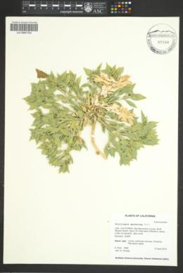 Stillingia spinulosa image