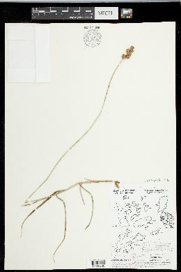 Carex ovalis image