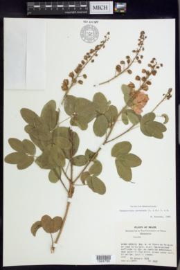 Image of Chamaecrista paraunana
