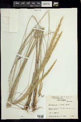 Image of Muhlenbergia articulata