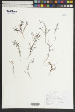 Camissonia pusilla image