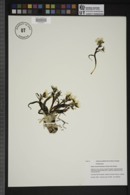 Image of Claytonia acutifolia