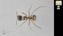 Camponotus vicinus image