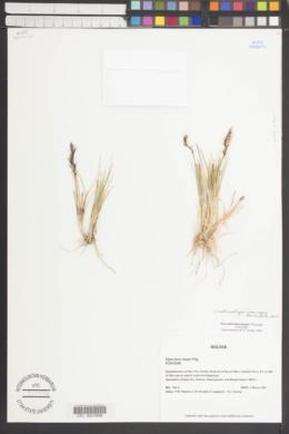 Anatherostipa hans-meyeri image