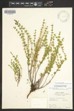 Scutellaria potosina image