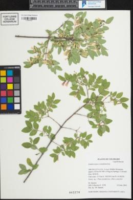 Symphoricarpos rotundifolius var. rotundifolius image