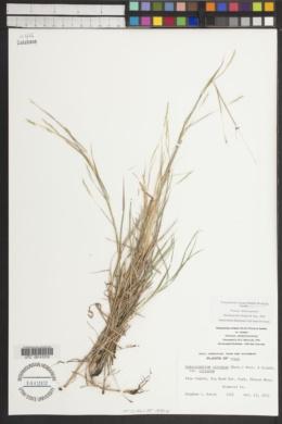 Schizachyrium cirratum image