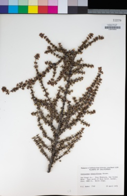 Image of Cercocarpus minutiflorus