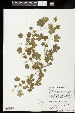 Image of Ribes echinellum