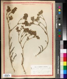 Image of Ivesia unguiculata