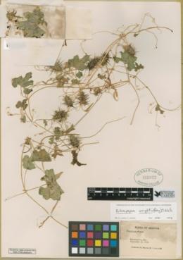 Echinopepon wrightii image