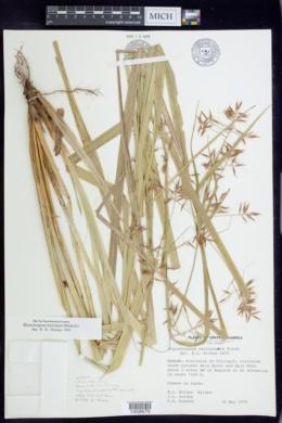 Image of Rhynchospora hieronymi
