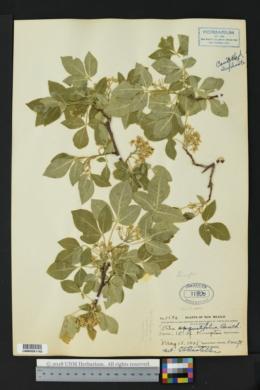 Ptelea trifoliata var. angustifolia image