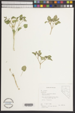 Physalis crassifolia image