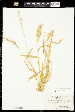 Urochloa fusca image